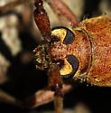 longhorned beetle - Knulliana cincta