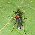 Lepturinae - Grammoptera haematites