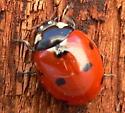 Seven-spotted Lady Beetle - Coccinella septempunctata