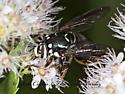 8035078 Syrphid - Spilomyia fusca