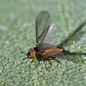 gall - Phylloxera