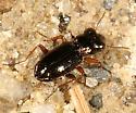 Bug-eyed Beetle - Notiophilus aeneus