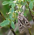 Seen on 9-24-09 at Illinois Beach SP, nectaring at White Sweet Clover - Feltia jaculifera