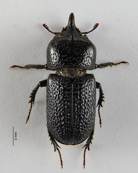Sinodendron rugosum? - Sinodendron rugosum - male