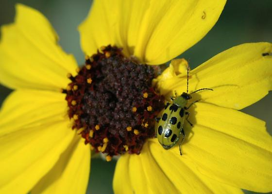 Spotted cucumber beetle for California in December - Diabrotica undecimpunctata