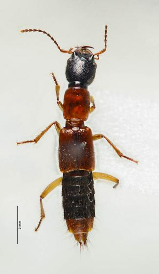 Staphylininae? - Homaeotarsus