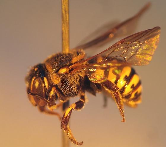 Black and yellow bee - Dianthidium