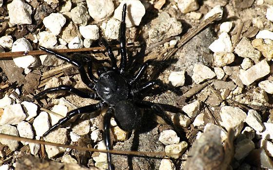 Black Spider  SE Texas - Ummidia