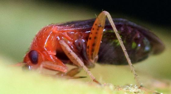 azalea plant bug - Rhinocapsus vanduzeei