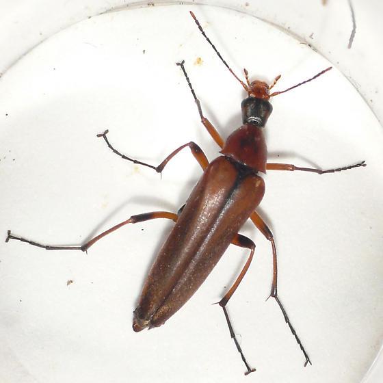 False longhorn beetle from Banff (2) 10.07.09 - Cephaloon tenuicorne