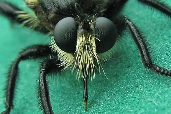 Robber Fly - Laphria janus