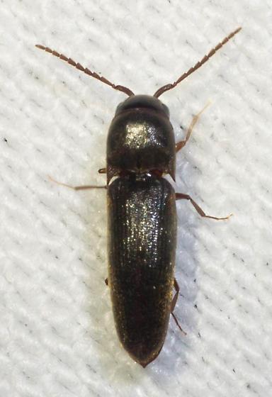 False? click beetle - Dirrhagofarsus ernae