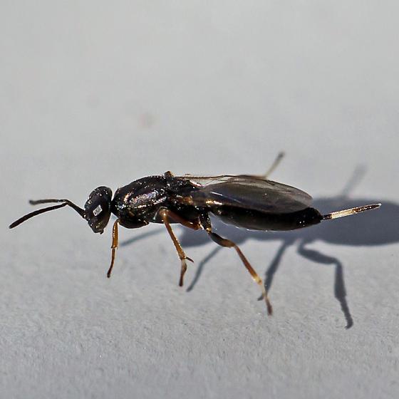 chalcid wasp - Eupelmus - female