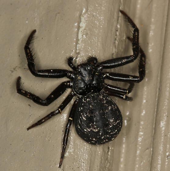 black crab spider - Coriarachne brunneipes - female