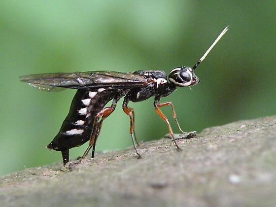 Wood Wasp - Xiphydria maculata - female