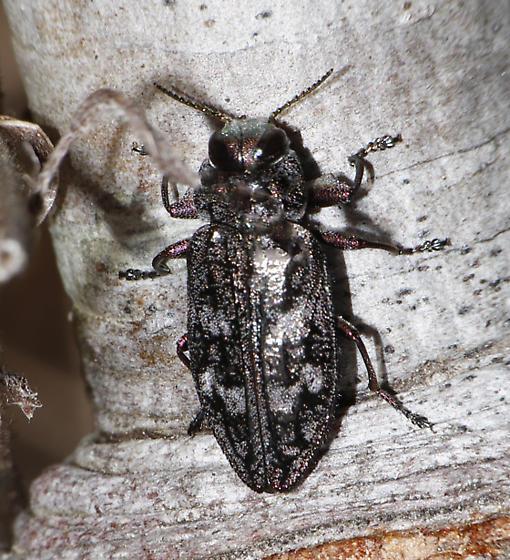 Chrysobothris species? - Chrysobothris