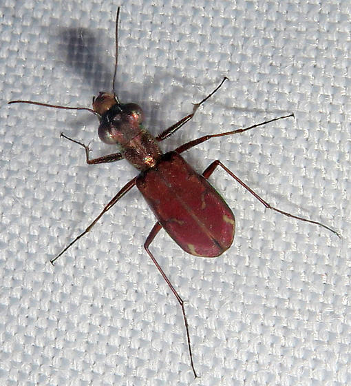 Sonoran Tiger Beetle - Brasiella wickhami
