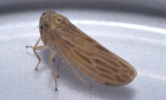 Hopper - Agallia