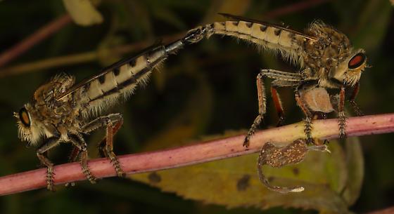 Promachus Vertebratus ? - Promachus vertebratus - male - female