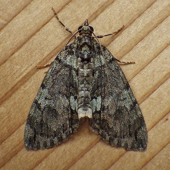 Geometridae: Hydriomena transfigurata - Hydriomena transfigurata