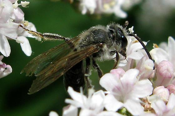 Mining Bee - Andrena crataegi - male