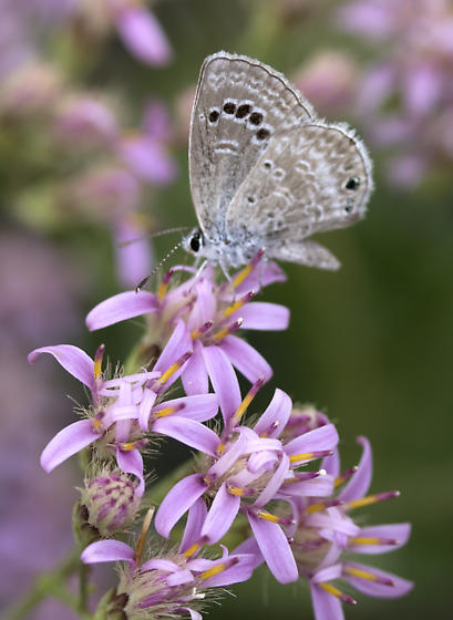 Butterfly - Echinargus isola