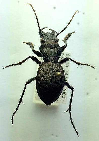 Carabidae - Omus dejeanii - Omus dejeanii