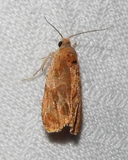 Olethreutes nitidana