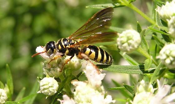 Yellow & black wasp with brown wings - Myzinum quinquecinctum - female