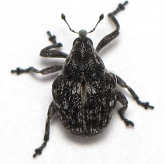 Unid. Weevil - Auleutes ater