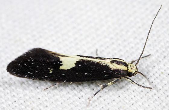 Skunk Moth - Polix coloradella