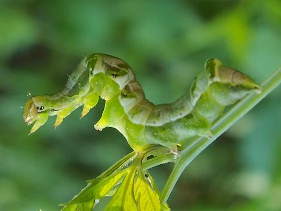 Acontiinae? caterpillar - Abrostola parvula