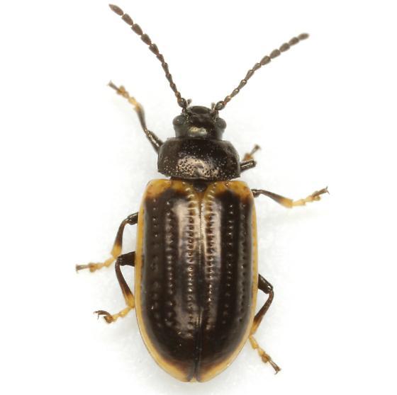 Microtheca ochroloma Stål - Microtheca ochroloma