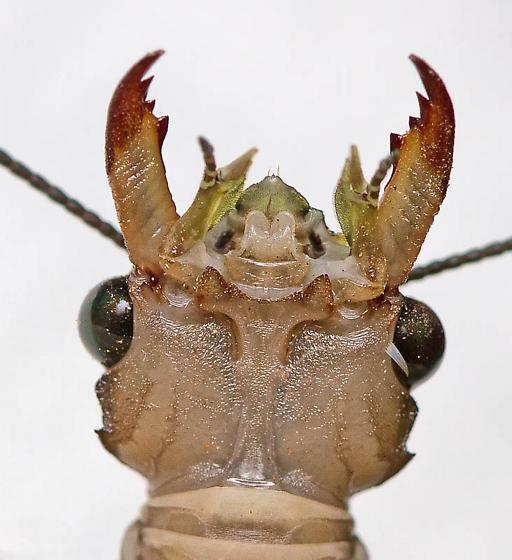 Flying insect East of Phoenix - Corydalus texanus