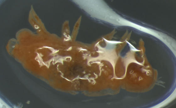 mystery class of arthropoda; collembola-like but with 4 or 5 leg pairs - Polyxenus