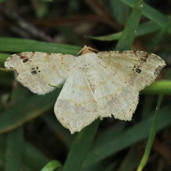 Red-headed Inchworm - Hodges#6342 - Dorsal - Macaria bisignata