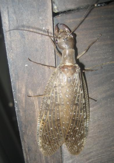 LRGV Dobsonfly, dorsal view - Corydalus luteus - female