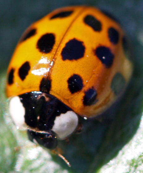 Asian ladybug genus species name, teenage pornography