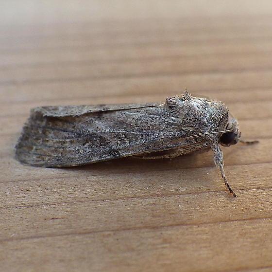 Noctuidae: Spodoptera frugiperda - Spodoptera frugiperda