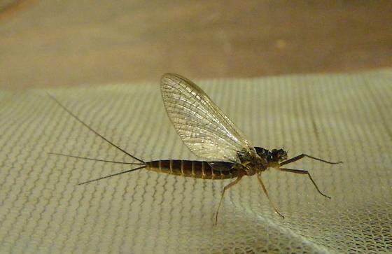 western Oregon Leptophlebia - Leptophlebia pacifica - female