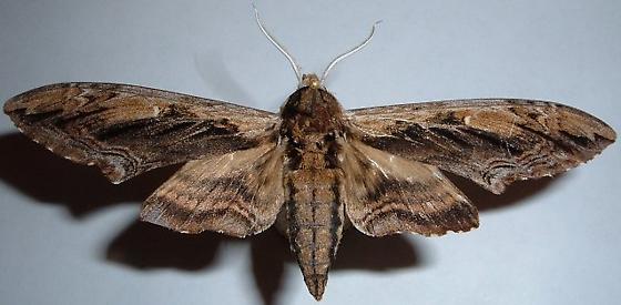 Moth - Ceratomia amyntor