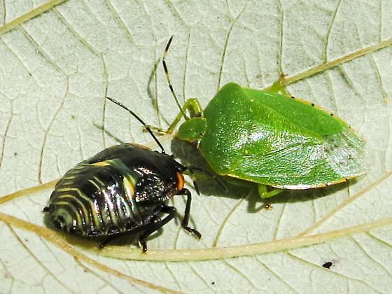 Stink Bugs - Chinavia hilaris