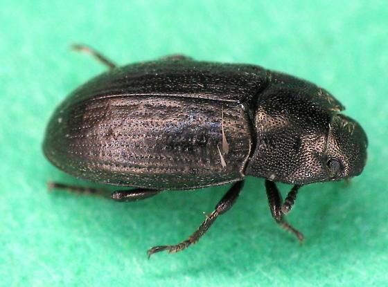 Tenebrionidae? - Blapstinus metallicus