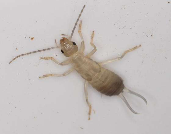 European Earwig, molt - Forficula auricularia - female