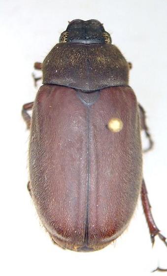 Phyllophaga ilicis - male