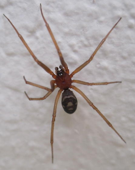 Brown recluse ? - Steatoda grossa