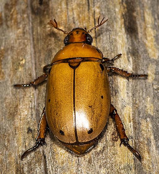 Eastern Hercules Beetle - Pelidnota punctata - female