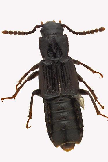 Spiny-legged Rove Beetle - Coprophilus striatulus