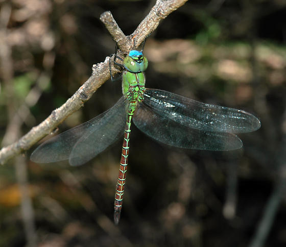 Blue-faced Darner  - Coryphaeschna adnexa