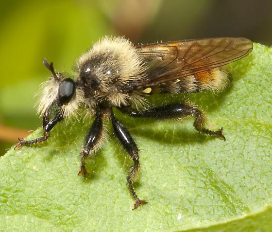 NE Oregon robber fly - Laphria fernaldi